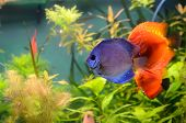 stock photo of diskus  - Blue and orange discus in the aquarium - JPG