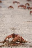 Red Crab Cannibalising Crushed Crab in Christmas Island