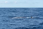 Side View Of A Sei Whale (balaenoptera Borealis) And Its Dorsal Fin As It Surfaces For Breath In The poster