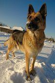 Funny German Shepherd Dog Playing On The Snow