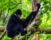 Closeup Of A Male Northern White Cheeked Gibbon Holding On To A Tree Branch, Critically Endangered A poster
