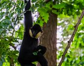 Male Norther White Cheeked Gibbon Hanging In A Tree, Critically Endangered Animal Specie From Asia poster