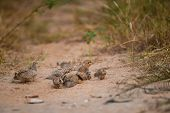 Grey Francolin Or Grey Partridge Or Francolinus Pondicerianus Family With Chicks Walking Together On poster
