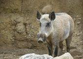 Bristley Pig