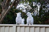 Sulphur-crested Cockatoos Seating On A Fence. Urban Wildlife. Australian Backyard Visitors poster