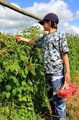 Boy Picking Raspberries