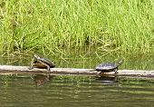 Turtles Sunning.