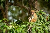 Toque Macaque (macaca Sinica) Monkeys Are A Group Of Old World Monkeys Native To The Indian Subconti poster
