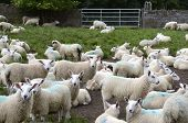 Flock of sheep at a farmyard