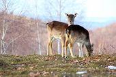 Fallow Deer Doe And Calf