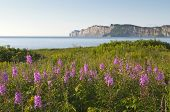 stock photo of wildflowers  - Selective focus on the foreground wildflowers with the Gaspe Peninsula in the background - JPG