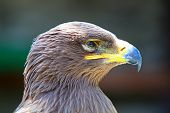 Portrait Of A Golden Eagle (aquila Chrysaetos)