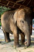 domestic young elephant at Phuket, Thailand poster