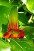 stock photo of angel-trumpet  - Close Up Of Red Angel - JPG