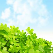 Picture of green clover field, st.Patrick's day background, shamrock plant over blue sky, beautiful spring nature, springtime season, floral border, trefoil -  symbol of luck, irish holiday concept