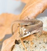 Brown Gecko close-up