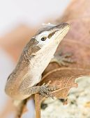 Brown Lizard Shedding skin on head