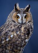 Portrait of Long-eared owl on blue background