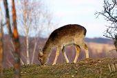 Deer Calf Grazing