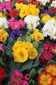 foto of primrose  - various colorful primroses in spring and summer - JPG