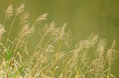 Bluejoint Reedgrass Growing By The River