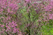 stock photo of judas tree  - Judas tree with beautiful pink flowers in spring - JPG