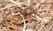 Brown Recluse, a venomous spider in dry winter grass