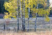 Small Group Of Aspen Trees.