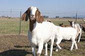 Goat Grinning.