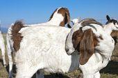 Goat Preens Itself.