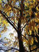 Yellow Locust Tree