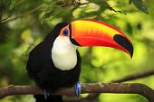 picture of pecker  - Toucan (Ramphastos toco) sitting on tree branch in tropical forest or jungle
