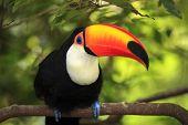 Toucan (Ramphastos toco)