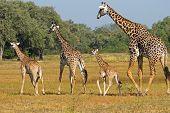 Giraffes on the plains of Africa