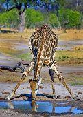 Giraffe drinking rom waterhole
