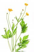 Buttercup (Ranunculus acris)