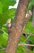 A Chameleon In A Tree