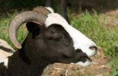 Horned Head Of Jacob Sheep