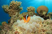 Red Sea Anemonefish in Anemone underwater on coral reef