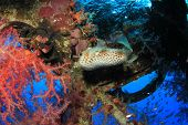 Burrfish and corals on underwater shipwreck
