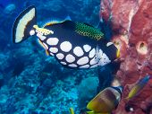 stock photo of butterfly fish  - Clown Triggerfish sponge and butterfly fish on a coral reef at Bunaken Indonesia - JPG