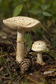 stock photo of edible mushroom  - not edible mushroom  - JPG