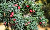 Closeup Of European Yew