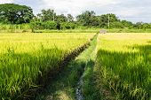 Green Rice Fields In North Thailand