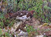 Rock Ptarmigan family in Alaska