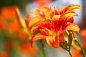 Orange Lilly Flower Lilies Outdoor
