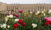 Versailles Gardens Tulips Closeup