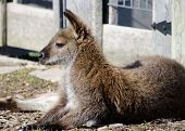 Profile of Wallaby