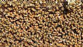 picture of larvae  - this is bee take care theire larvae - JPG