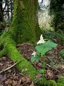 stock photo of trillium  - A Pacific Trillium in the forest under a maple tree - JPG
